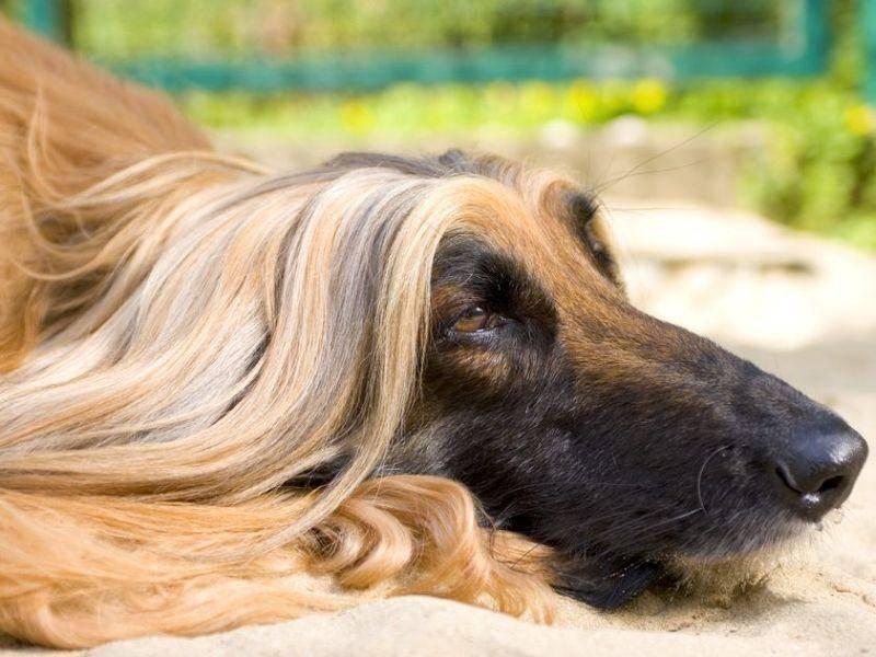 Afghanischer-Windhund-Frisur