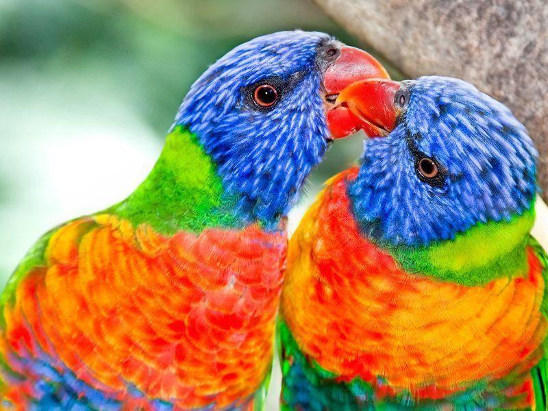 Ein bunter Exotenvogel: Der Allfarblori