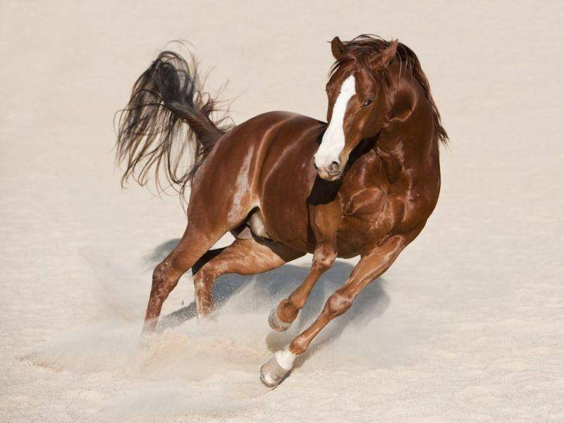 American Quarterhorse Pferd im Sand