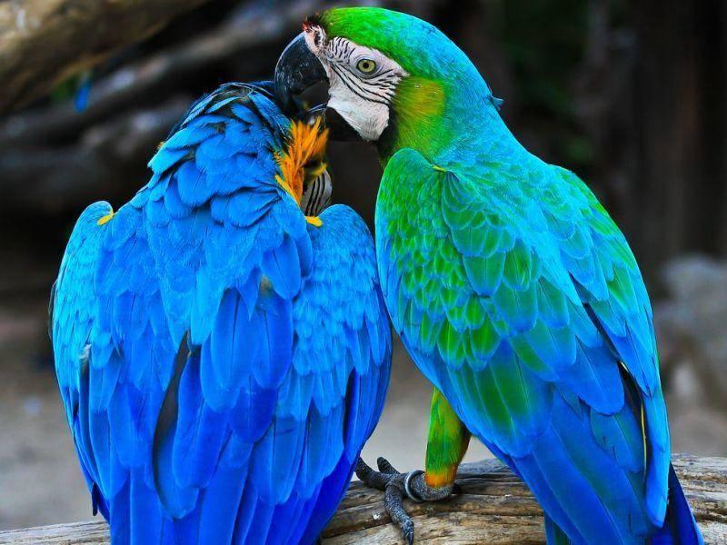 Leuchtend blau: Ara Vogelpaar