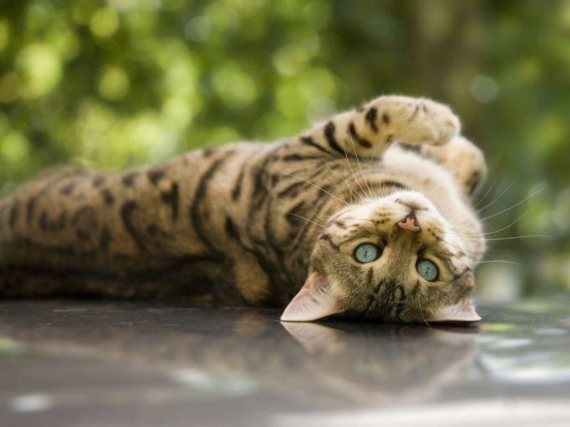 Bengal-Katze, ein Exot fürs Wohnzimmer, für den Sie zwischen 1.000 und 4.000 Euro einplanen sollten