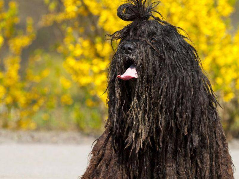 Bergamasker-Hirtenhund-Frisur