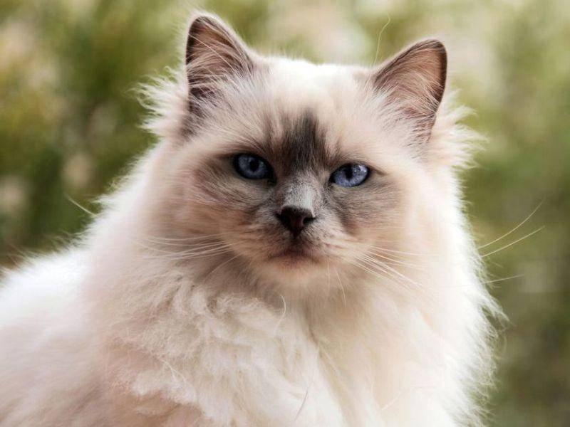 Platz 4: Außergewöhnliche Birma-Katze mit Point Zeichnung und blauen Augen
