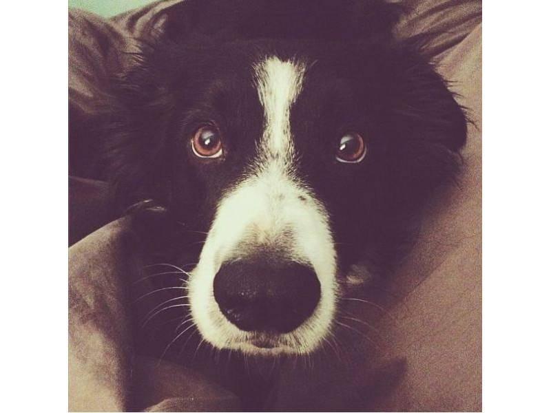 Border Collie Hund Momo, zum Schluss noch mal ganz Nah: Haben Sie ihn überall gefunden? — Bild: Instagram / andrewknapp