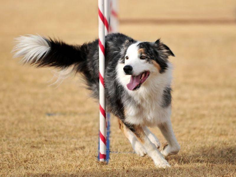 Border Collie: Der als Hirtenhund eingesetzte Vierbeiner schafft 49 km/h.