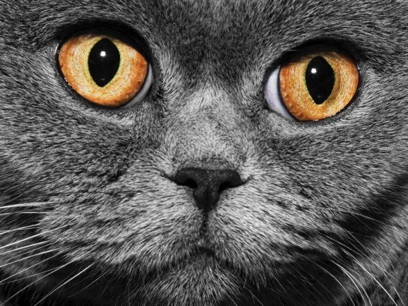 Ganz nah: Britisch Kurzhaar Katze mit orangen Augen