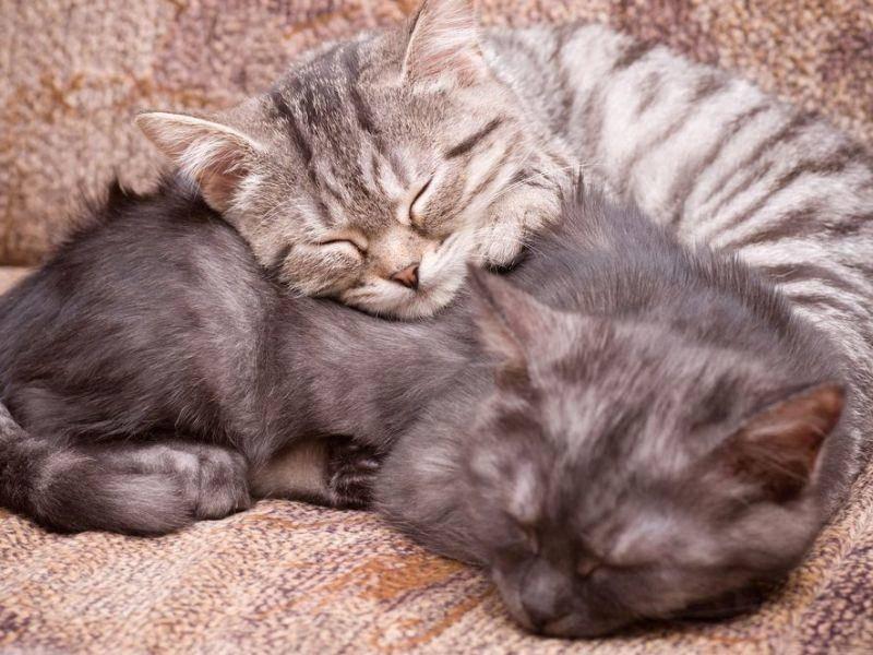 So niedlich: Flauschige Britisch-Kurzhaar-Katzenfreunde