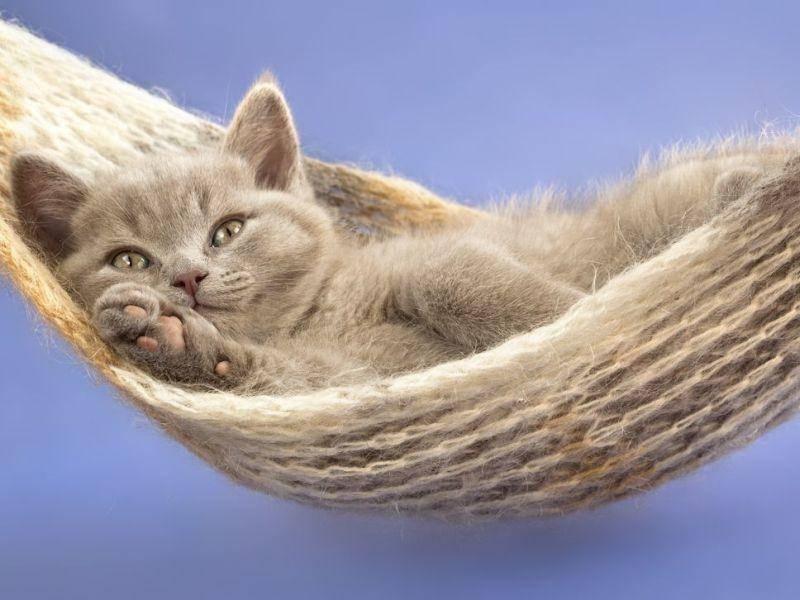Gemütlicher Typ: Britisch Kurzhaar Katzenbaby in der Hängematte