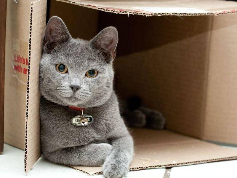 Was wäre das Katzenleben ohne Kartons? Britisch Kurzhaar beim Spielen
