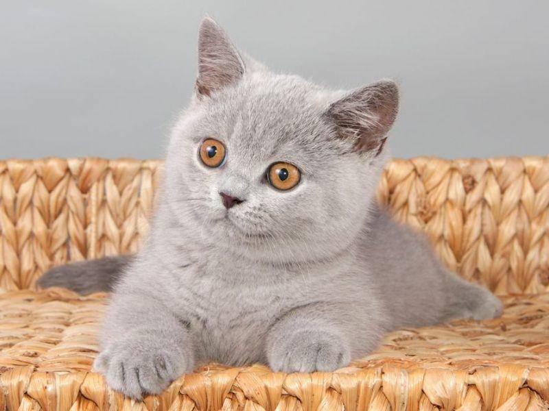 Katzenmodel: Britisch Kurzhaar beim posieren