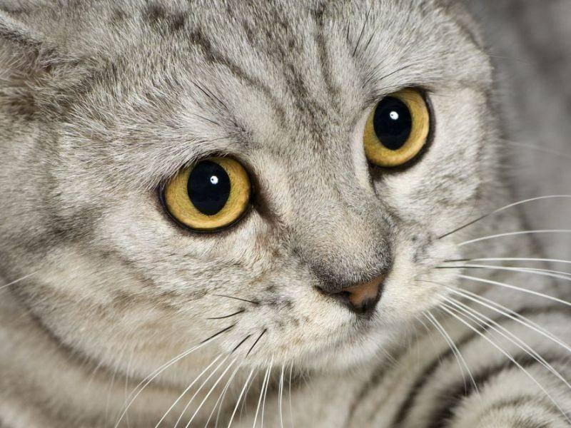 Wow! Britisch Kurzhaar Katze mit Tabbyzeichnung und gelben Augen