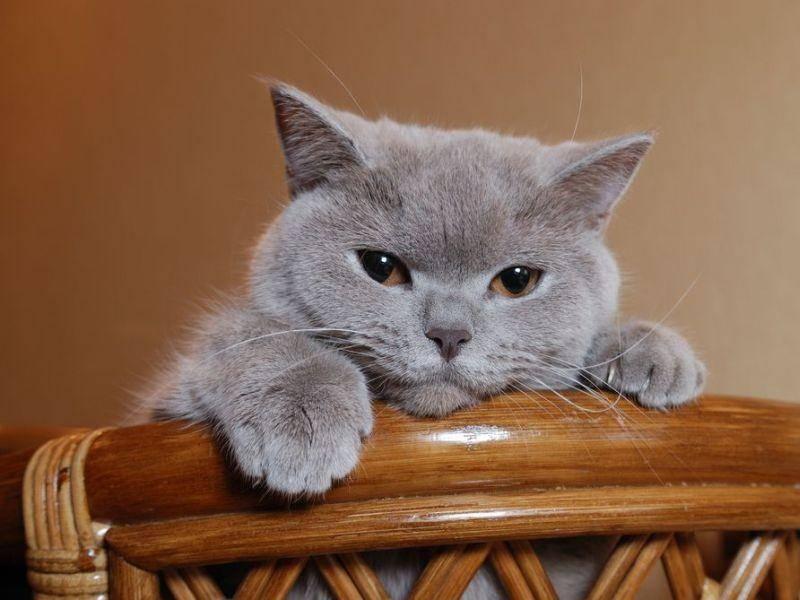 Spielen? Britisch Kurzhaar Katze macht die Wohnung unsicher