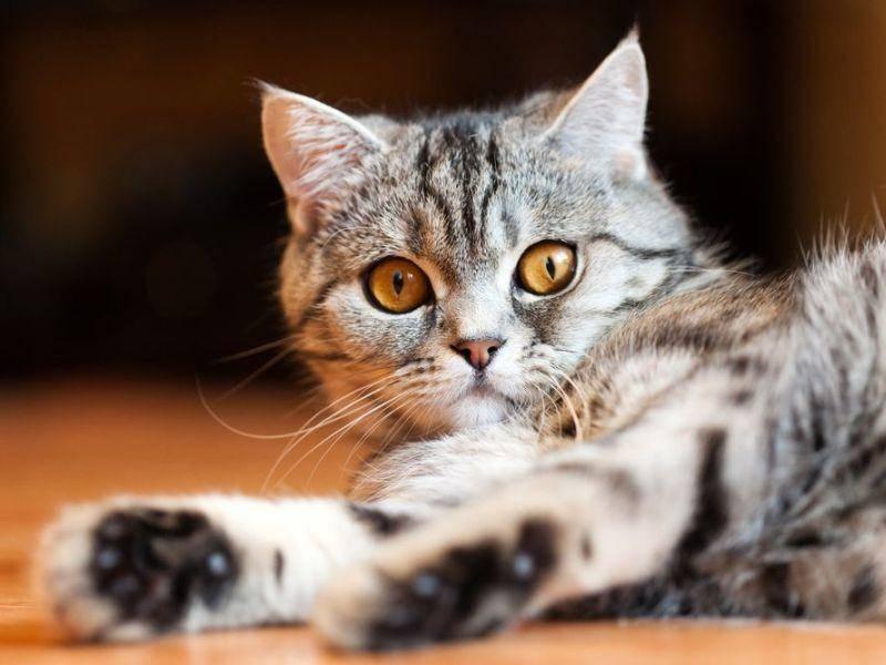 Schön, schöner, Britisch Kurzhaar Katze: Jungtier mit Tabby-Zeichnung
