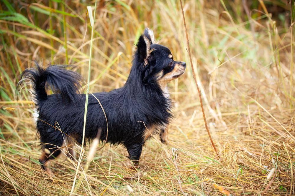 Chihuahua Hund auf der Wiese