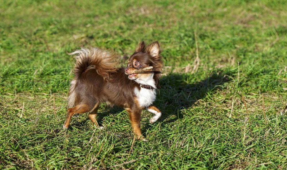 Chihuahua Hund spielt auf der Wiese