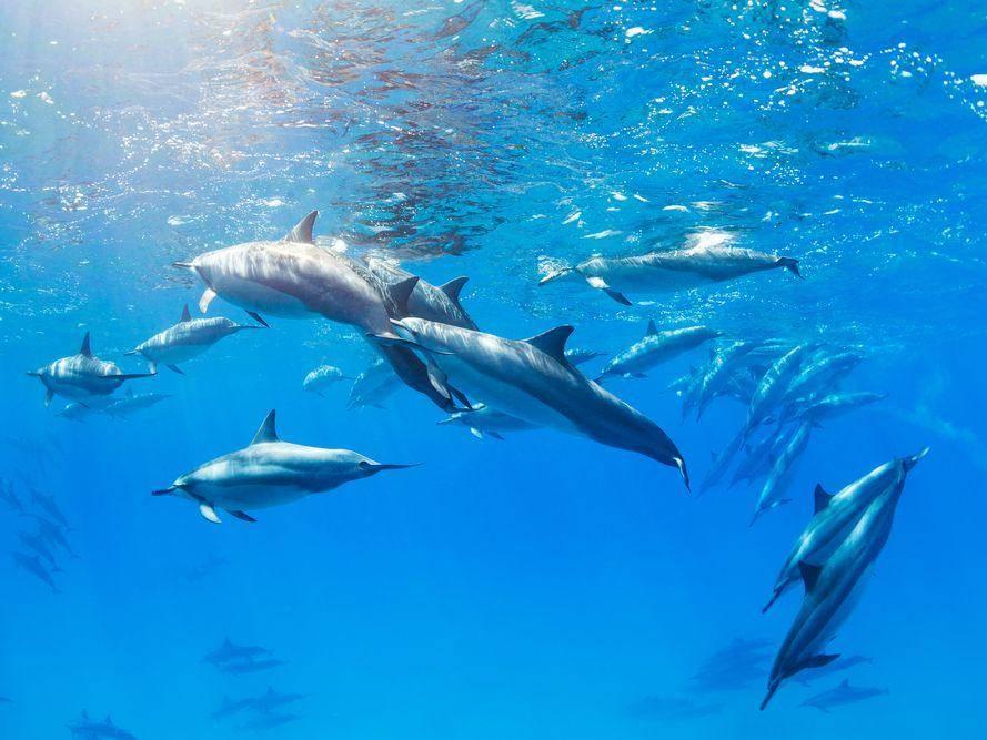 Delfinschwarm im Meer