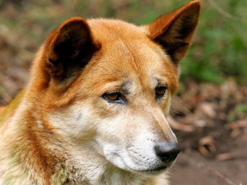 Verwilderter Haushund: Der Dingo