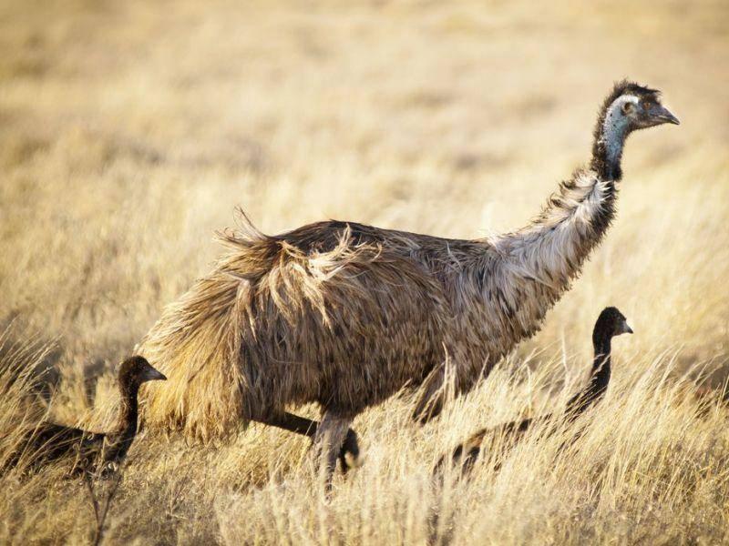 Ganz schön groß: Der Emu Vogel