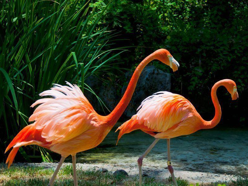 Flamingo-Vogel-Paar-Laufend