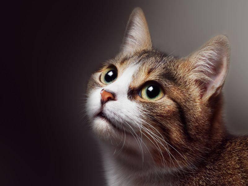Getigerte-Katze-Gruene-Augen