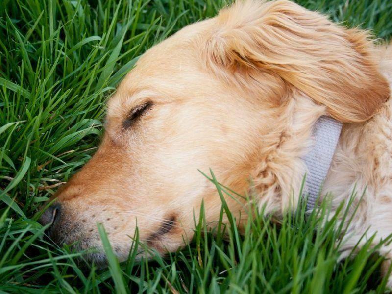 Golden Retriever Hund schläft auf der Wiese
