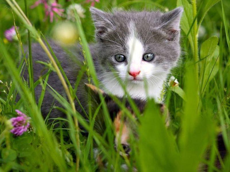 Grau-Weisse-Katze-Baby-Wiese