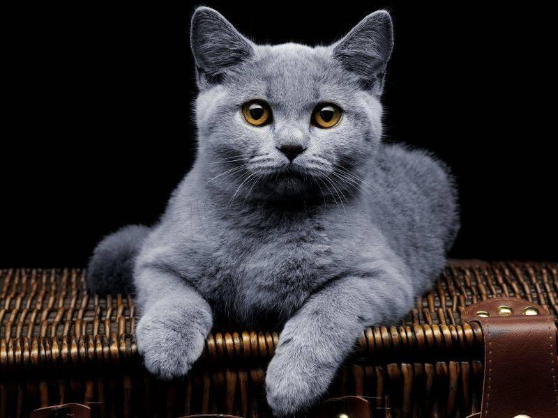 Graue-Katze-Bernstein-Augen