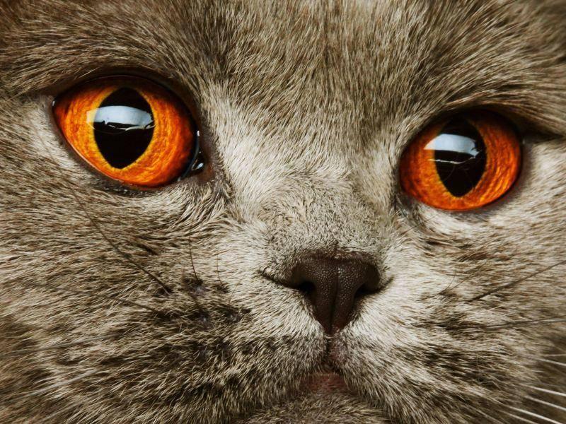 Graue-Katze-Orange-Augen-nah