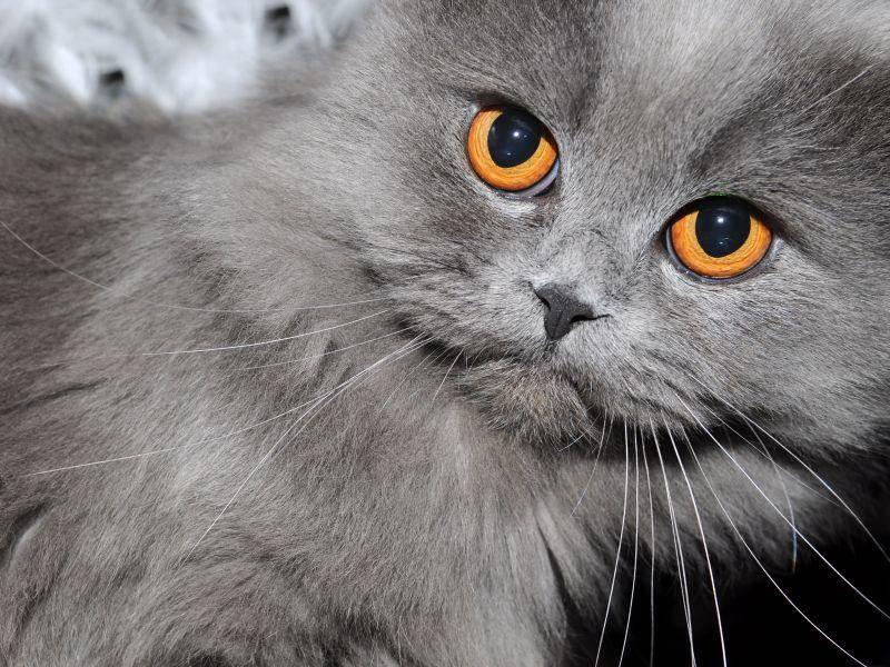 Graue-Katze-Orange-Augen
