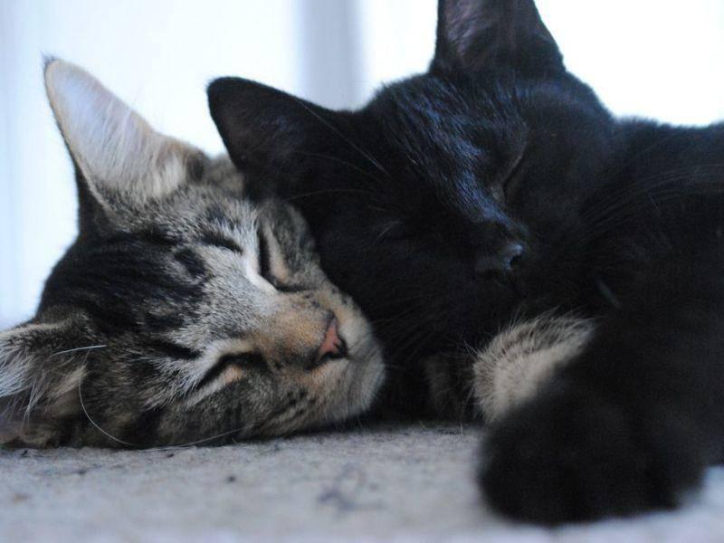 Graue-Schwarze-Katze-Schlafen