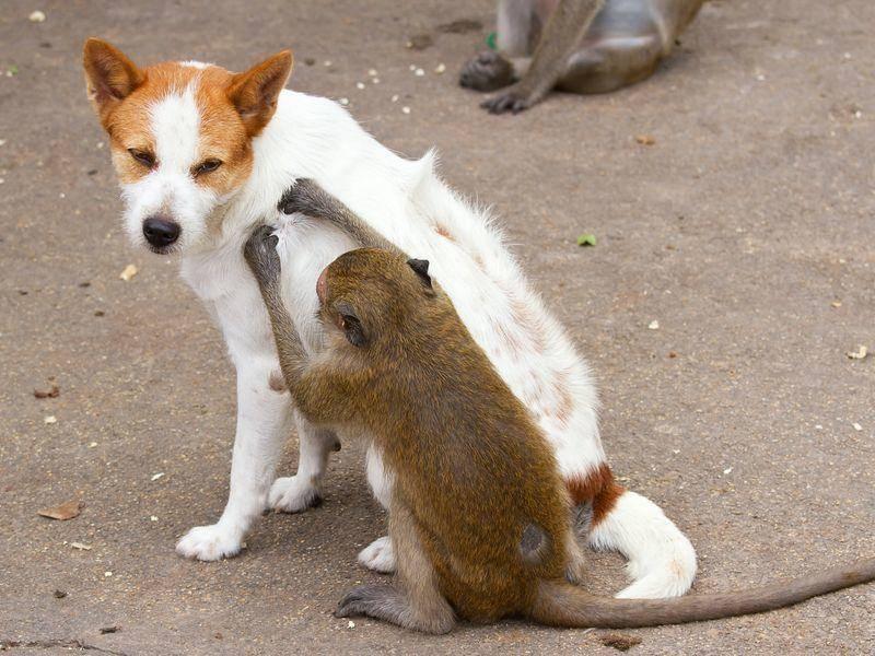 Hund-Affe