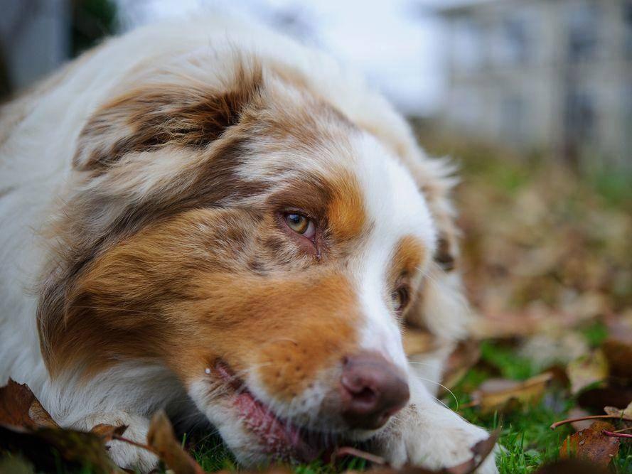 So ein charmanter Hundeblick: Ein Australian Sheperd macht Mittagspäuschen