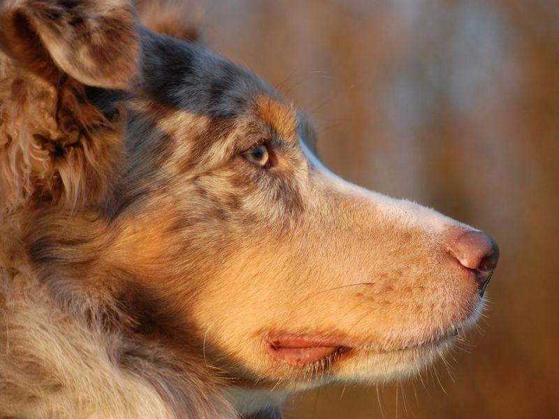 Ein Australian-Sheperd-Hund genießt die Abendsonne