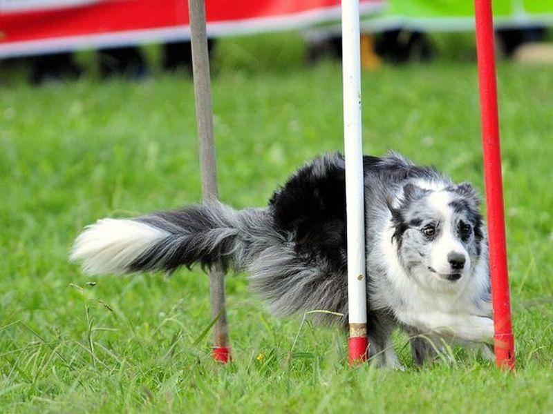 Der geschickte Australian Sheperd ist ein Hunde-Ass im Slalomlauf