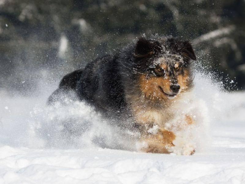 Im Schnee toben? Klasse! Ein Australian-Sheperd-Hund hat Spaß
