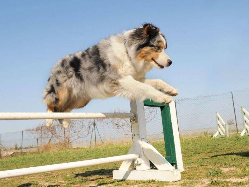 Springen? Kein Problem! Ein Australian Sheperd beim Hundesport