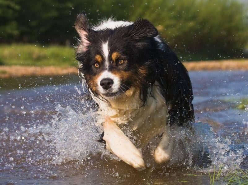 Australian Sheperd Hund in Aktion