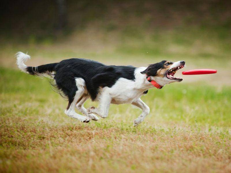 Border Collie Hund jagt Frisbee