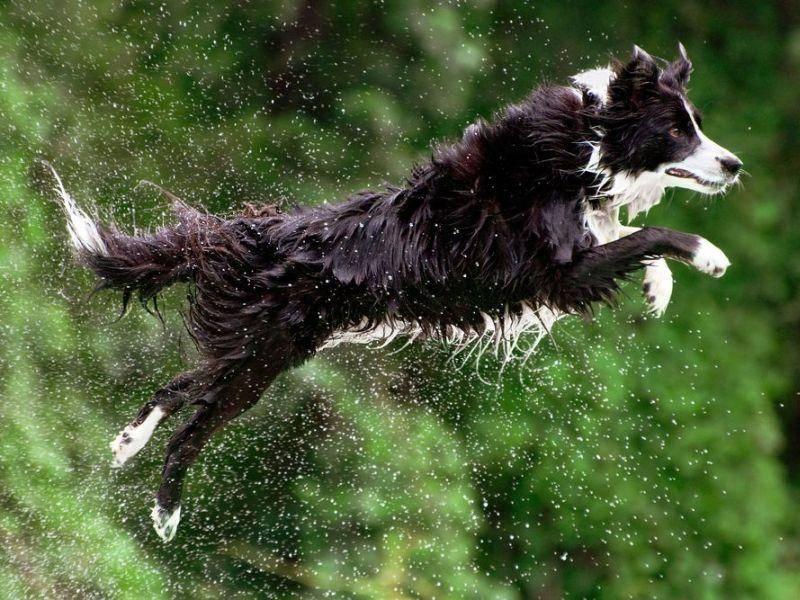 Border Collie springt mit Wassertropfen