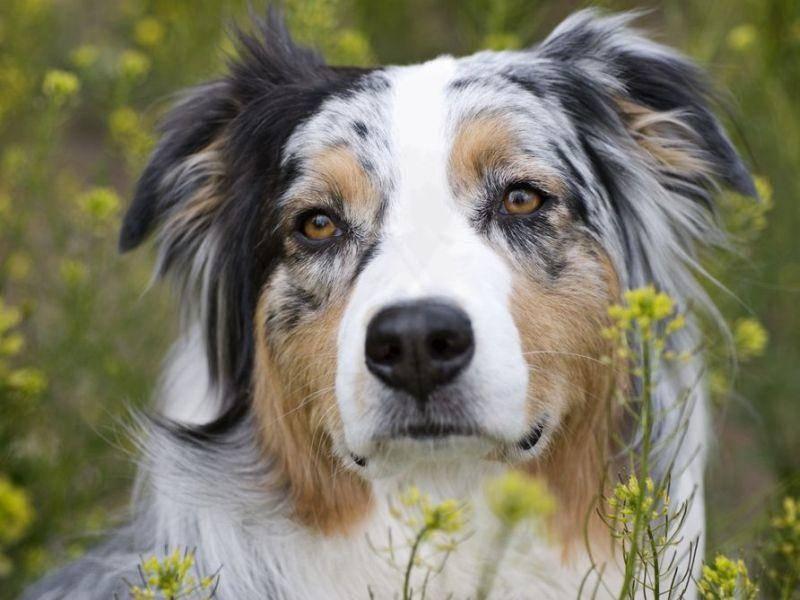 Bunt, bunter, Australian-Sheperd-Hunde