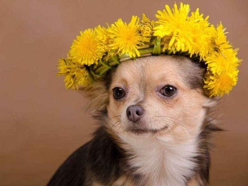 Chihuahua Hund mit Kopfschmuck