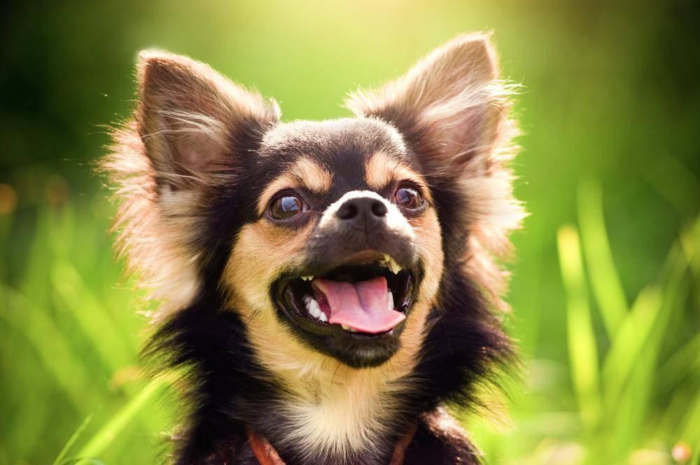 Kleiner Hund ganz groß: Chihuahua in Nahaufnahme