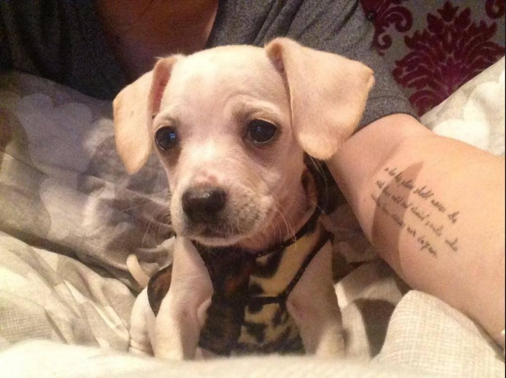 Miley Cyrus Chihuahua Hund Mischling Bean