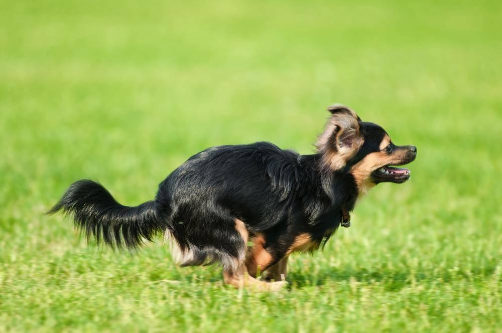 Schnell wie der Wind: Ein Chihuahua-Hund in Fahrt