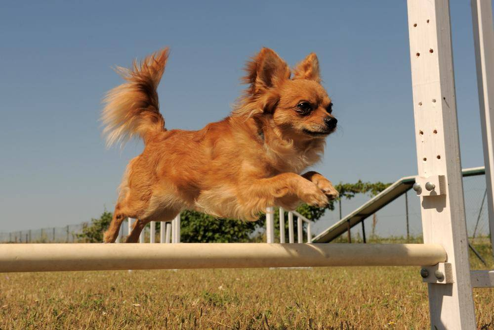 Hunde-Hindernislauf: Wer sagt das Chihuahuas nicht springen können?