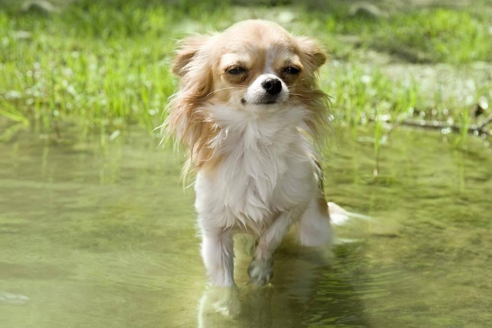 Hund oder Wasserratte? Chihuahuas sind ganz und gar nicht wasserscheu!