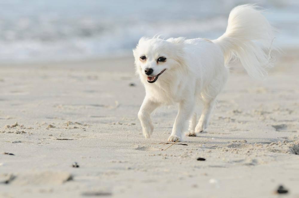 Strandausflug: Ein Chihuahua-Hund genießt das Leben