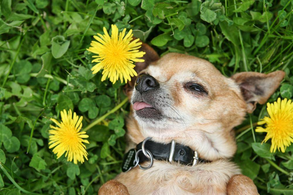 Auf ´ner schönen grünen Wiese: Ein Chihuahua macht Hunde-Siesta
