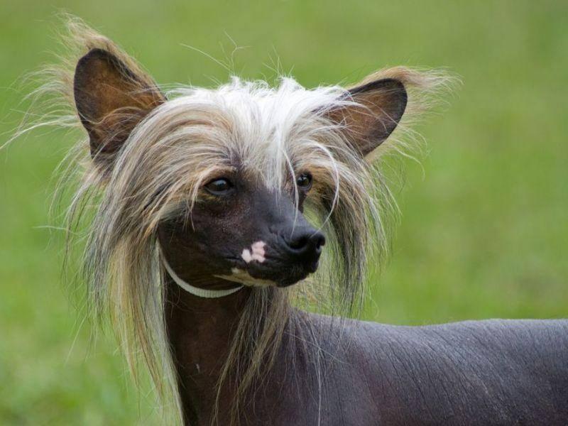 Chinesischer Schopfhund mit exotischem Look