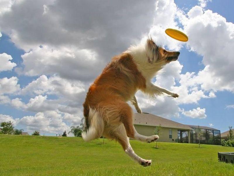 Collie Hund springt nach Frisbee Scheibe